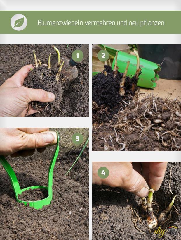 blumenzwiebeln pflanzen ausgraben vermehren und umpflanzen anleitung. Black Bedroom Furniture Sets. Home Design Ideas