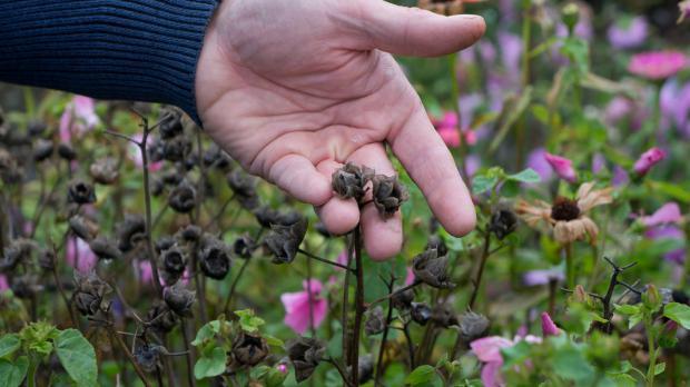 Verblühte Sommerblumen