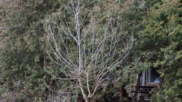Wilde Baumkrone zu groß geraten
