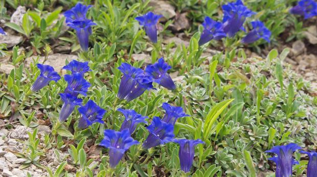 Alpenenzian in voller Blüte