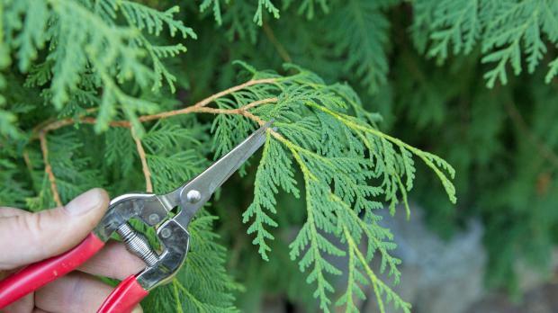 Triebspitzen mit Gartenschere abschneiden