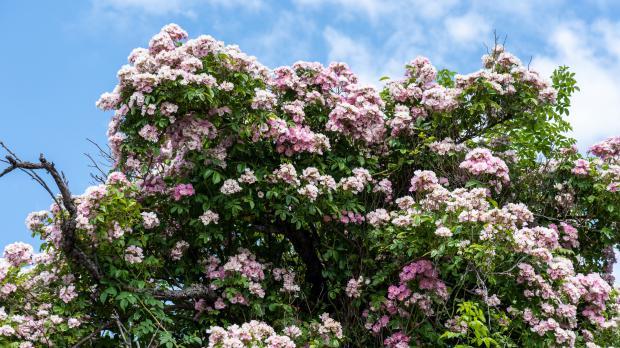 Ramblerrose in Blüte