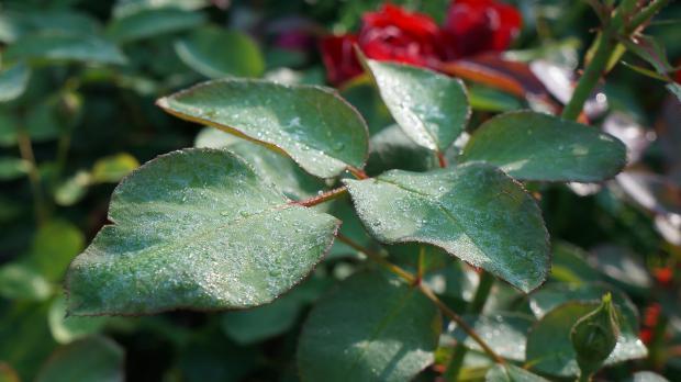Morgendlicher Tau auf Rosenblättern