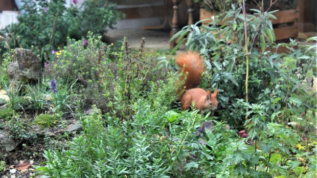 Eichhörnchen zu Besuch im Wildkräuterhügel