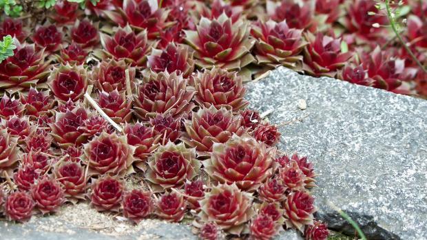 Hauswurz mit roten Blüten