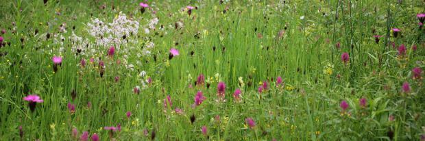 Selbst angelegte natürliche Blumenwiese