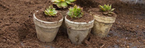 Hauswurz vermehren in Pflanztoepfen
