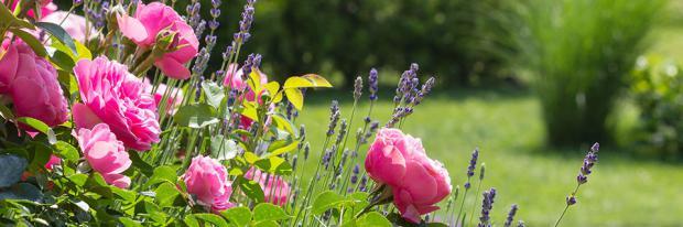 Blühender Rosengarten