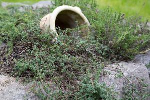 Polsterstauden vermehren